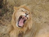 lion-240284_960_720